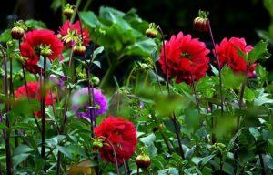 dahlias - terre et jardin