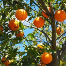Décorer son jardin avec les agrumes