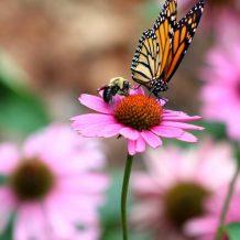 Les 3 plus beaux papillons de nos jardins
