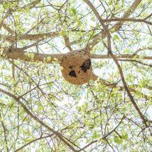 Comment vérifier s'il y a un nid de frelons sous mon toit ?