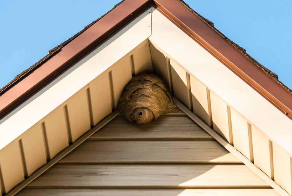 Nid de frelons sur le toit