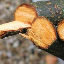 Élagage d'arbre : comment favoriser la cicatrisation des plaies du végétal?